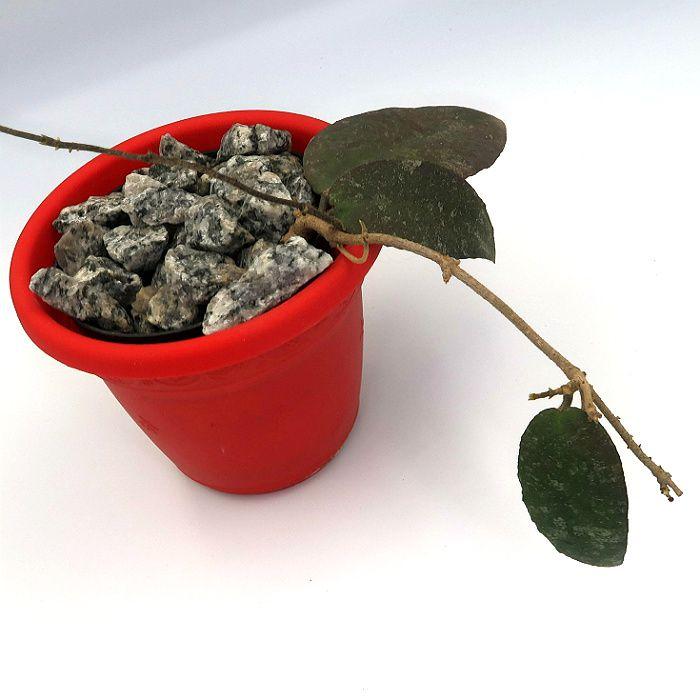 Hoya aff caudata - muda flor de cera