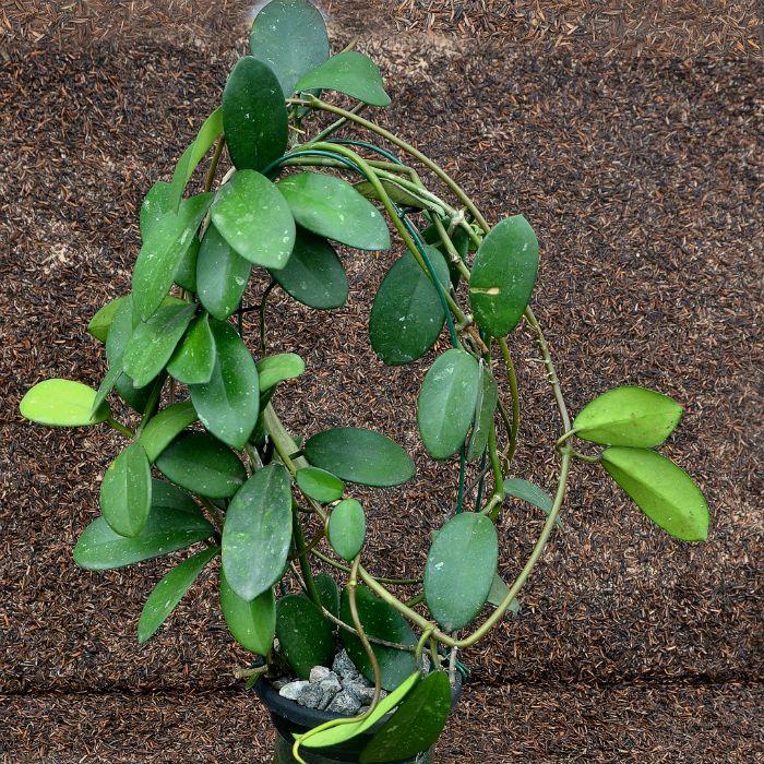 Hoya aff diversifolia- flor de cera - muda grande