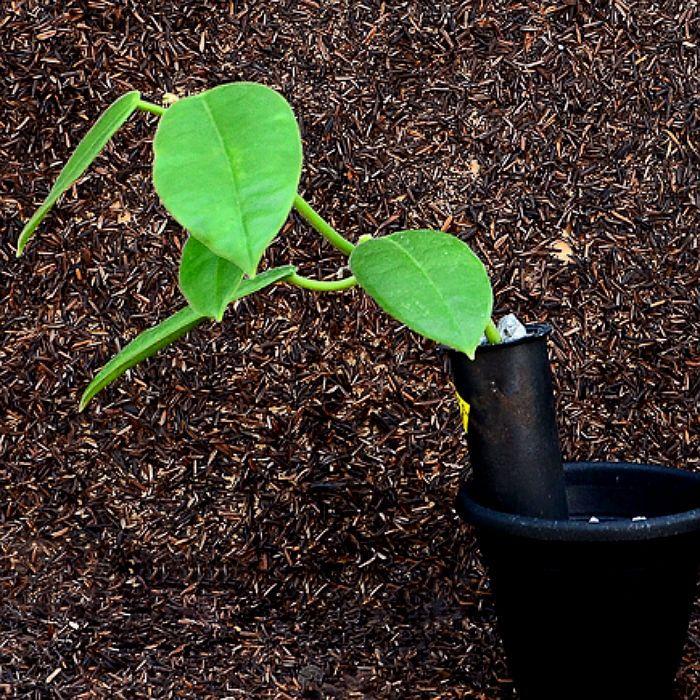 Hoya affinis- flor de cera