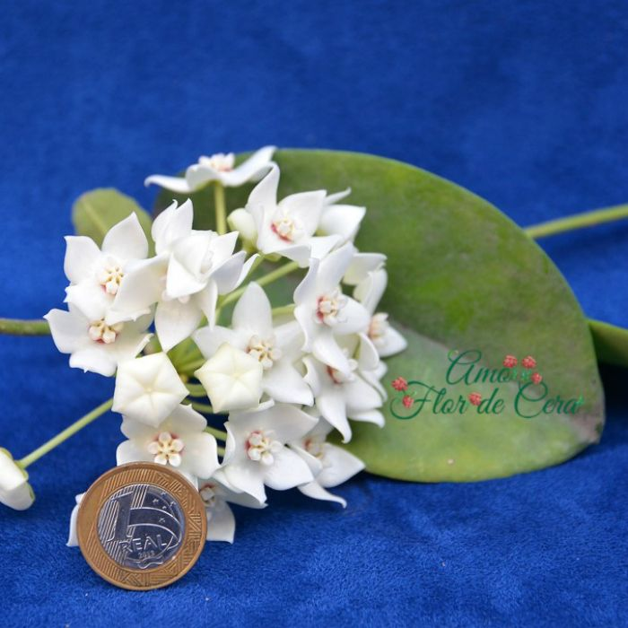 Hoya albiflora - flor de cera