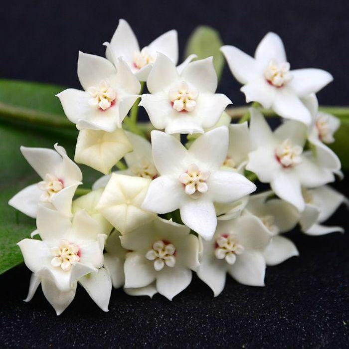 Hoya albiflora - muda flor de cera