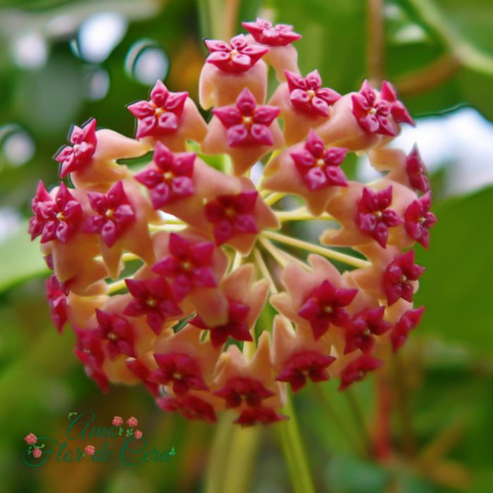 Hoya aldrichii- muda flor de cera
