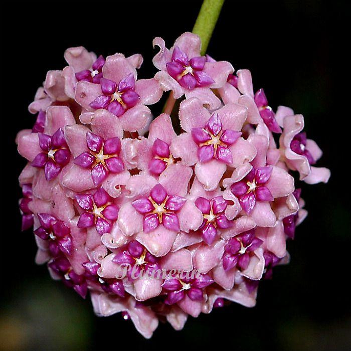 Hoya aldrichii - flor de cera - cuia 21