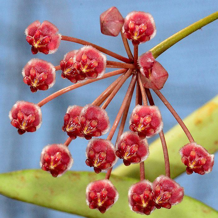 Hoya angustifolia - muda flor de cera
