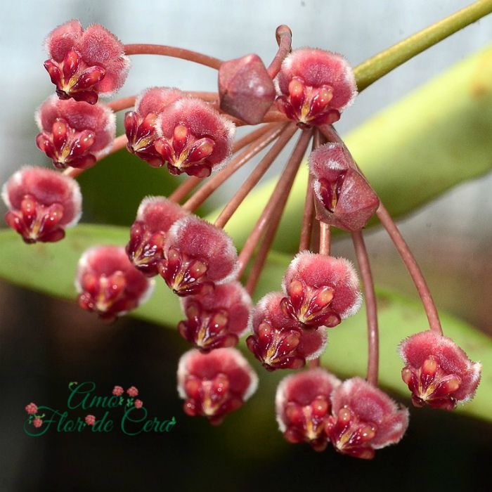 Hoya angustifolia - flor de cera - muda grande