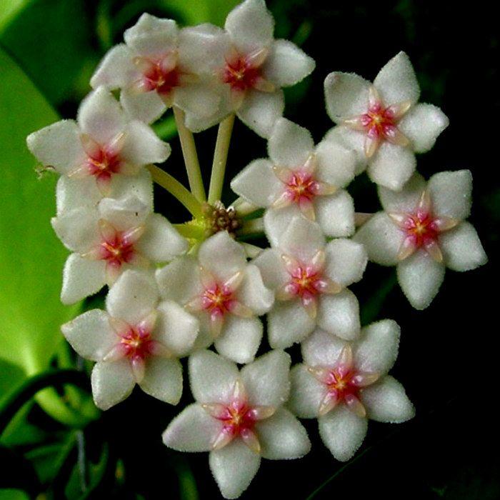 Hoya anulata - flor de cera
