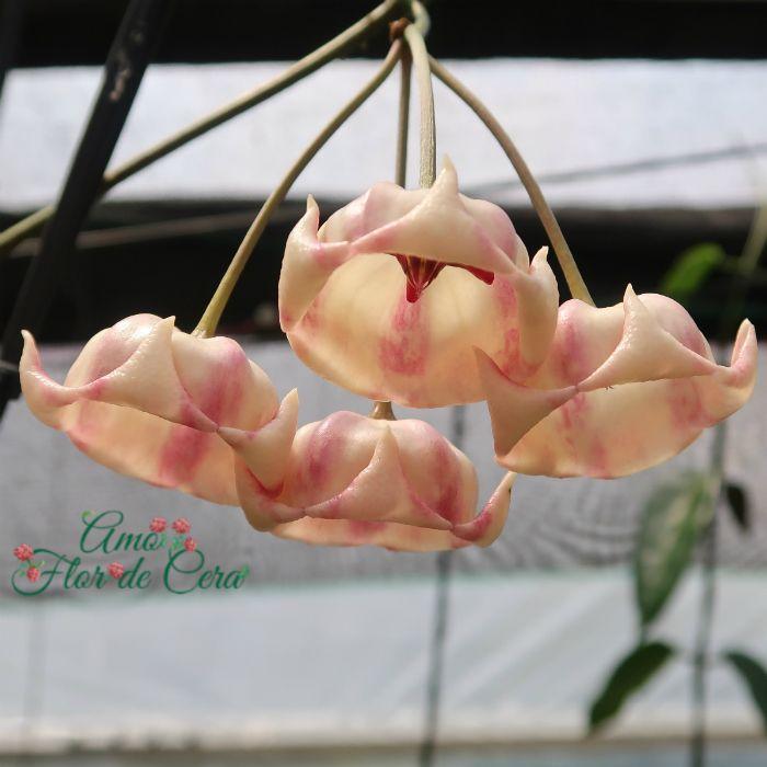 Hoya archboldiana - flor de cera