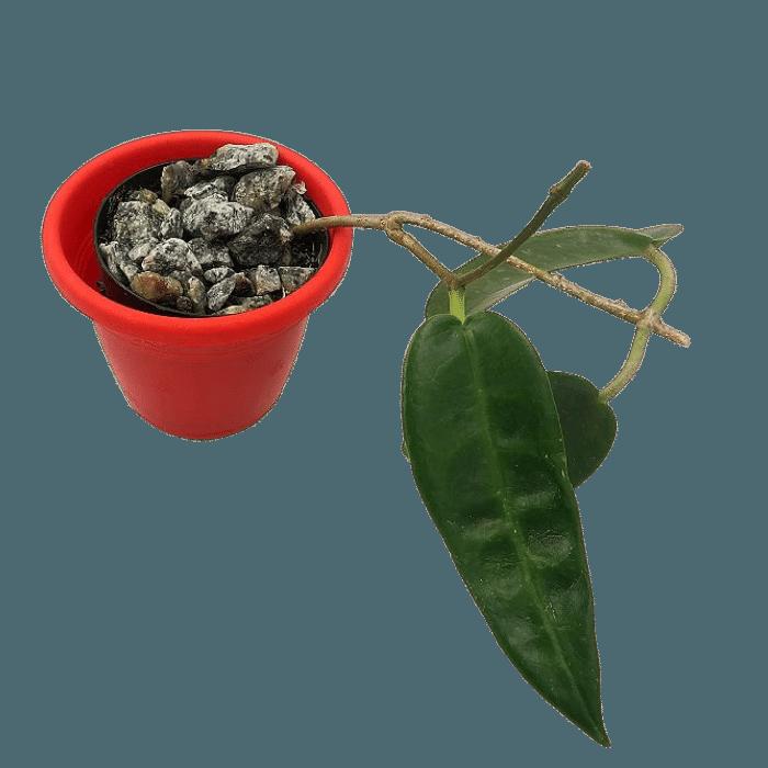 Hoya archboldiana - muda flor de cera