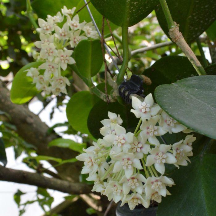 Hoya australis ssp australis - muda extra grande