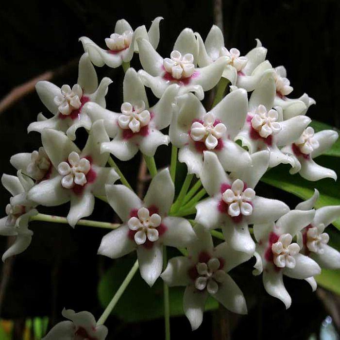 hoya australis ssp australis - flor de cera