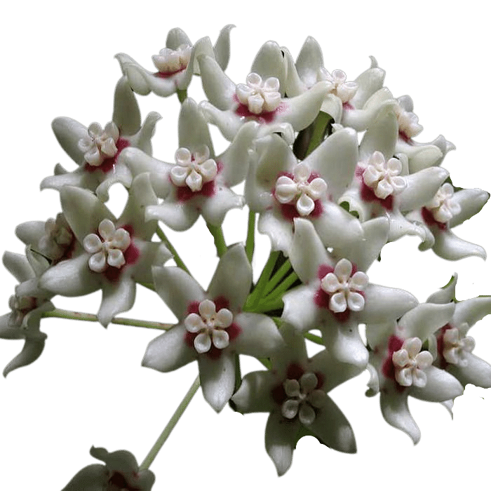 hoya australis ssp australis - muda flor de cera