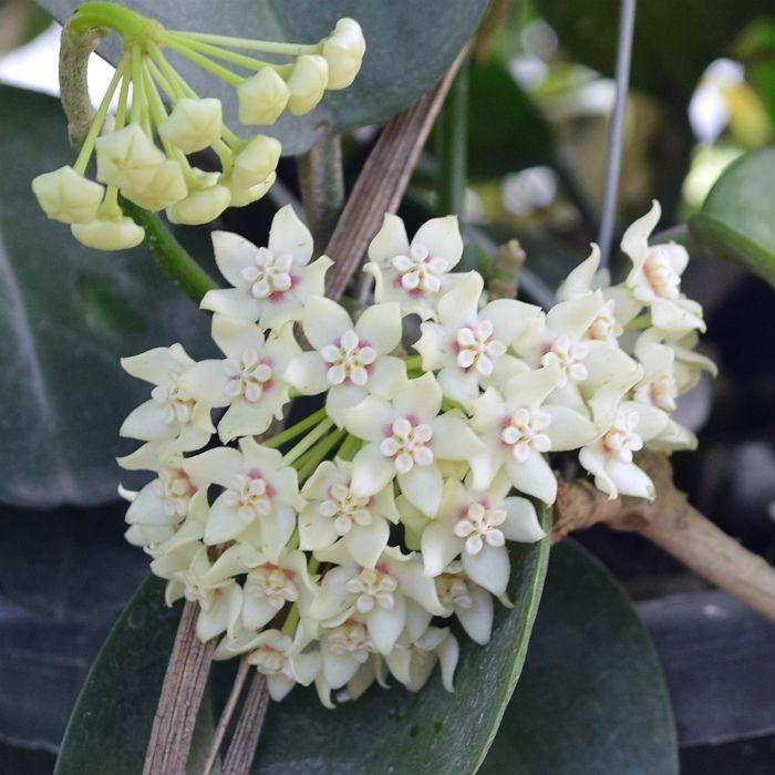 hoya australis ssp australis - muda grande