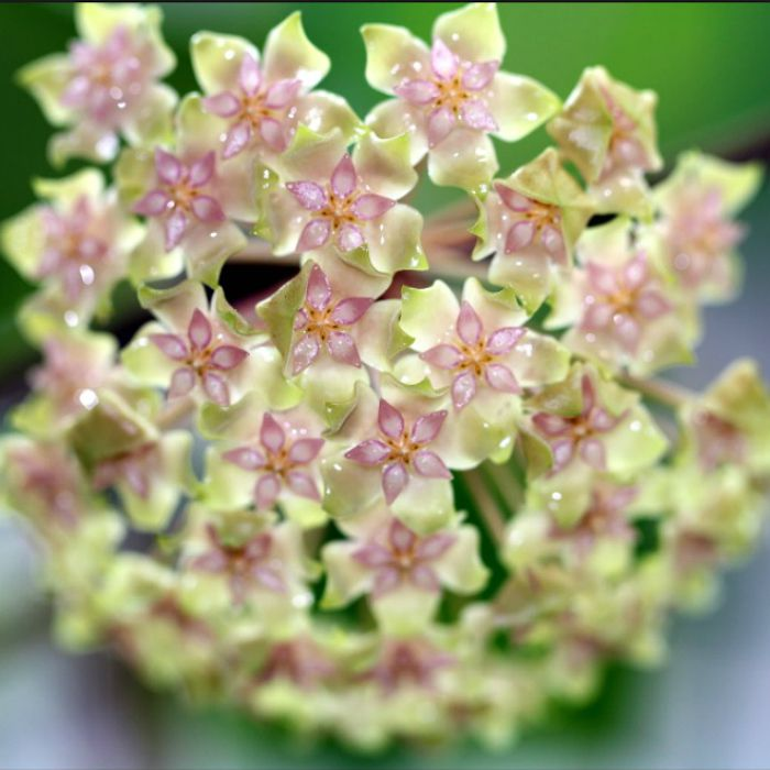Hoya balaensis - flor de cera - cuia 21