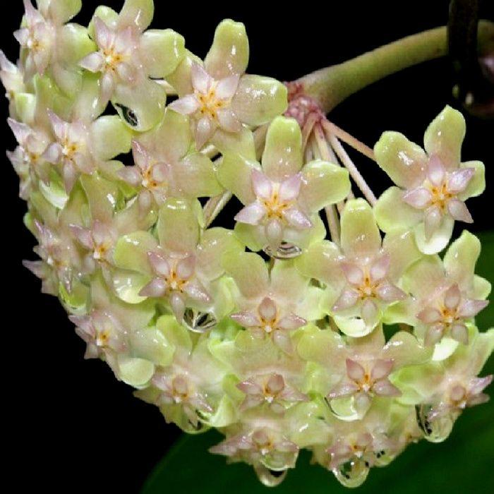Hoya balaensis - flor de cera - muda pequena