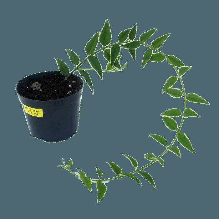 Hoya bella albomarginata  - muda flor de cera