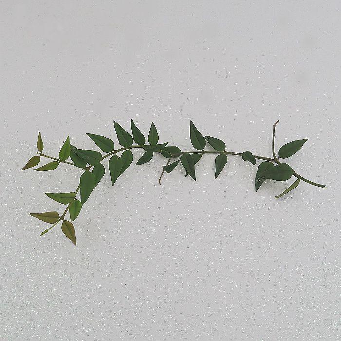 Hoya bella (Corte não enraizado) - flor de cera