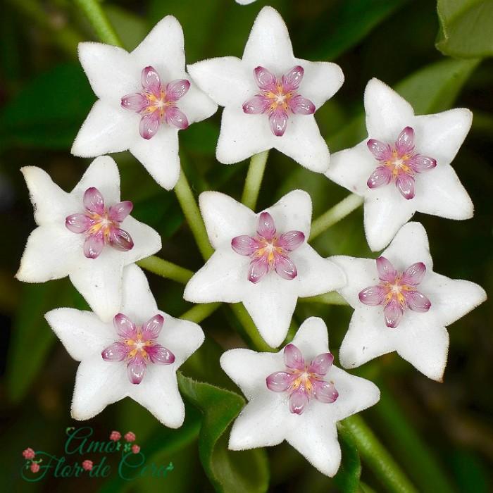 Hoya bella  - flor de cera