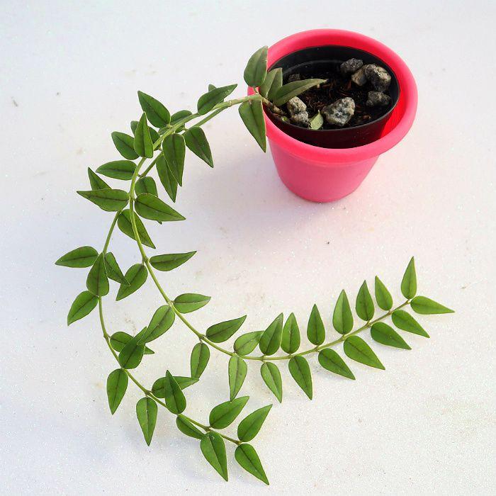 Hoya bella  - muda flor de cera