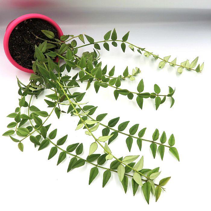 Hoya bella  - muda grande - flor de cera