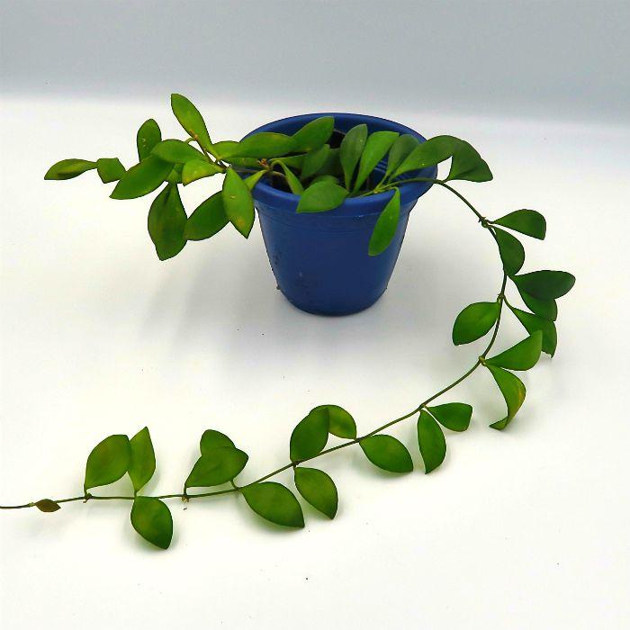 Hoya bilobata - flor de cera - muda pequena