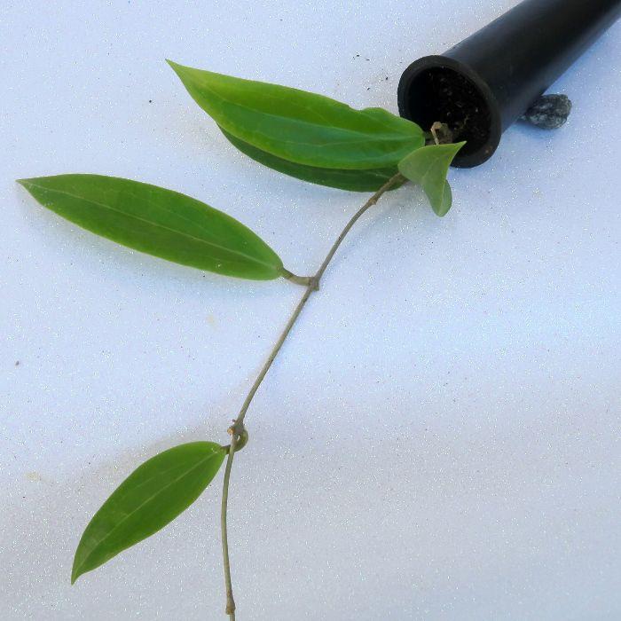 Hoya blashernaezii - flor de cera