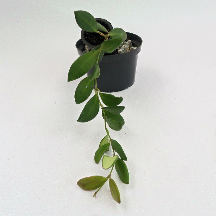 Hoya burtoniae - flor de cera