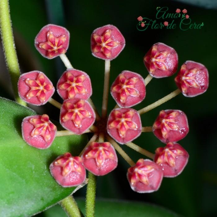 Hoya burtoniae - muda flor de cera