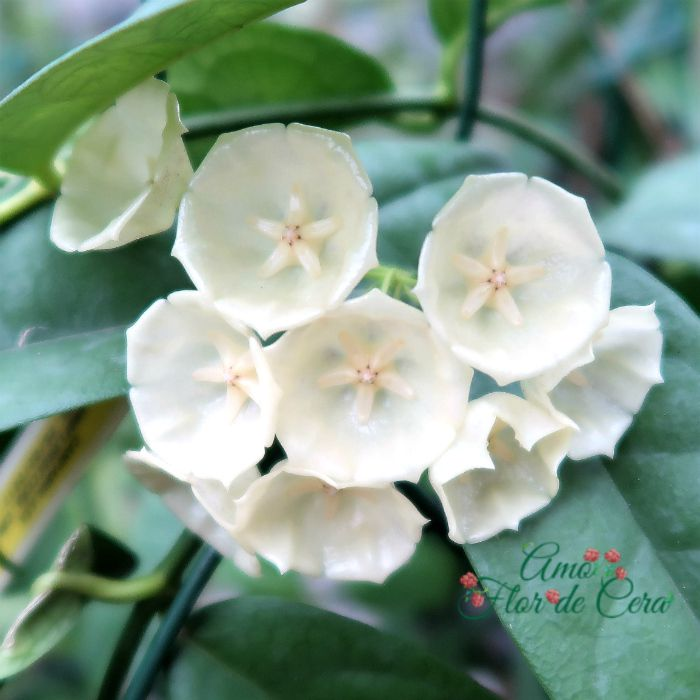 hoya campanulata - flor de cera