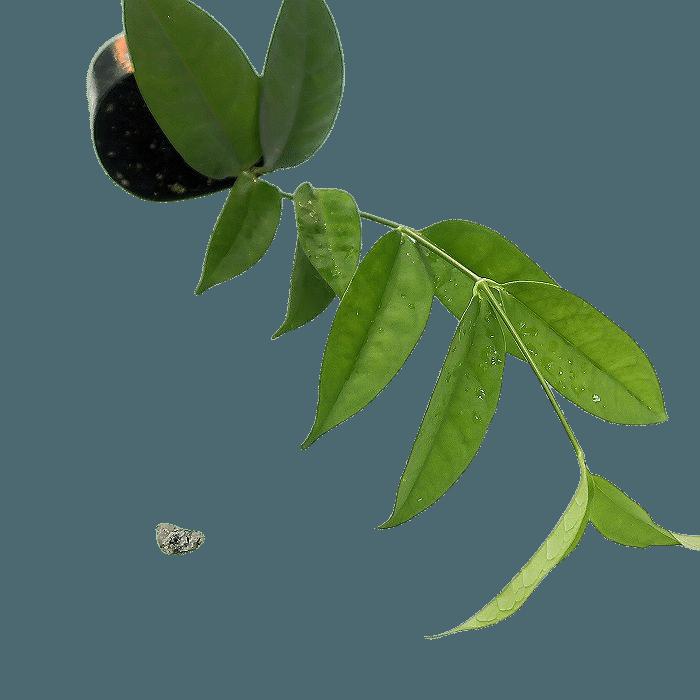 hoya campanulata - muda flor de cera