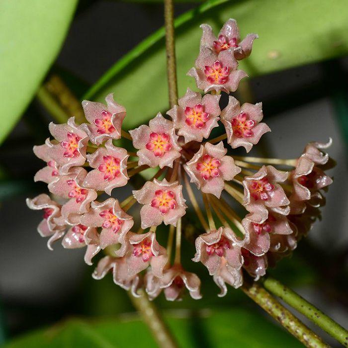 Hoya camphorifolia - flor de cera - muda grande