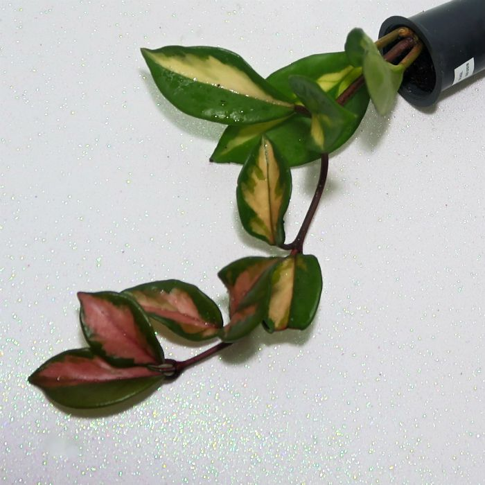 Hoya carnosa brasil - flor de cera