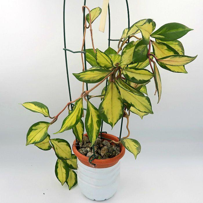 Hoya carnosa brasil - flor de cera - muda grande