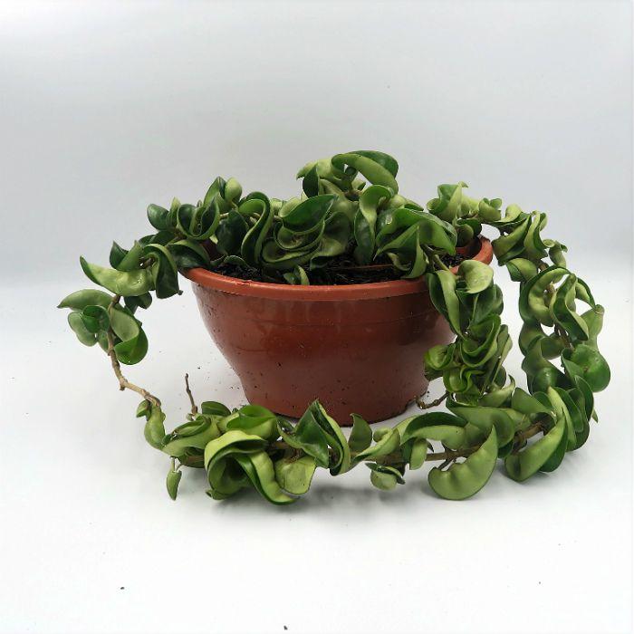 Hoya carnosa compacta green - cuia 21