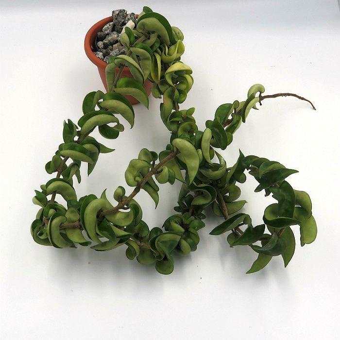 Hoya carnosa compacta green - muda grande