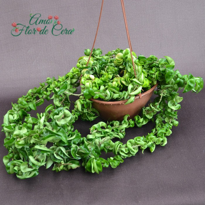 Hoya carnosa compacta green - vaso EXTRA grande