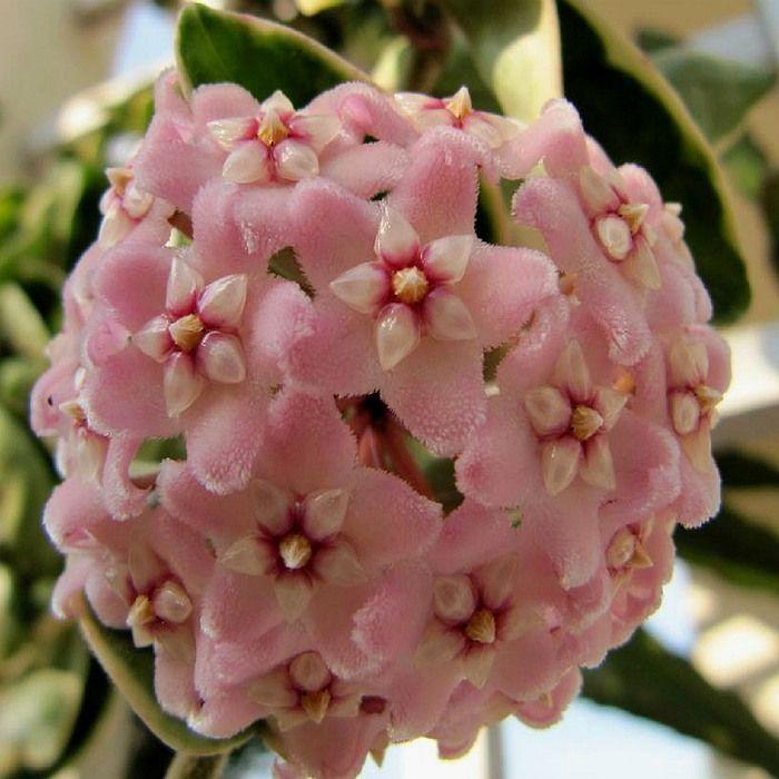 Hoya carnosa compacta variegata - muda grande