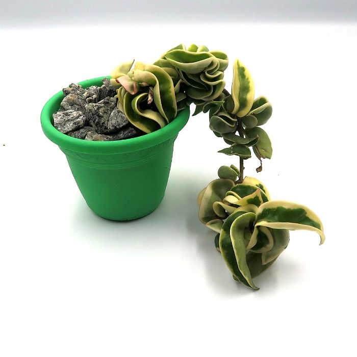 Hoya carnosa compacta variegata - muda pequena