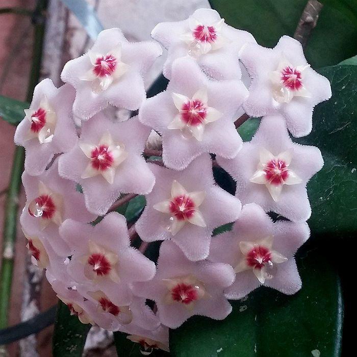 Hoya carnosa - muda flor de cera