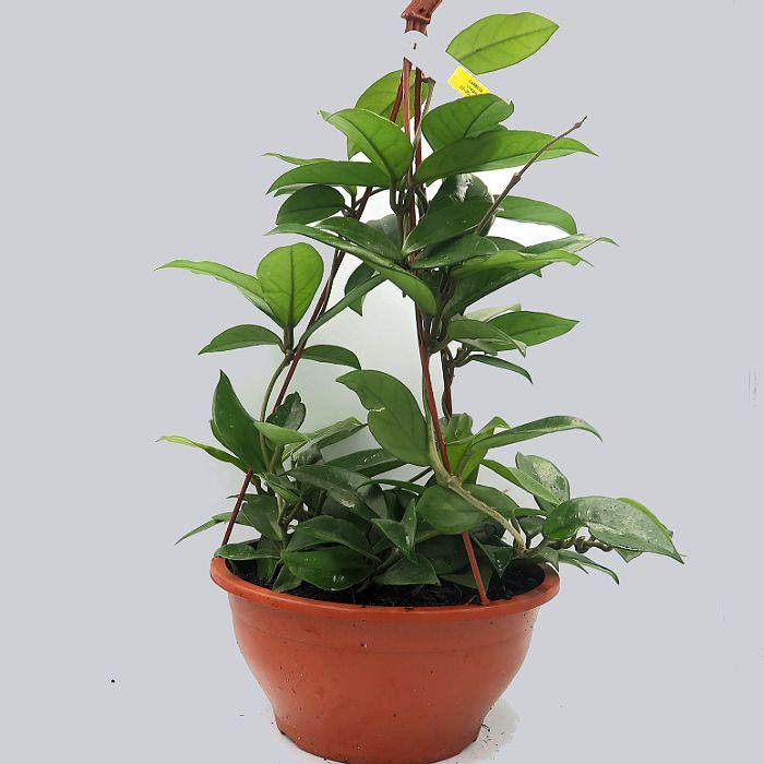 Hoya carnosa - flor de cera - cuia 21