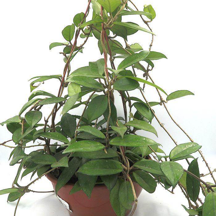 Hoya carnosa - flor de cera - muda extra grande