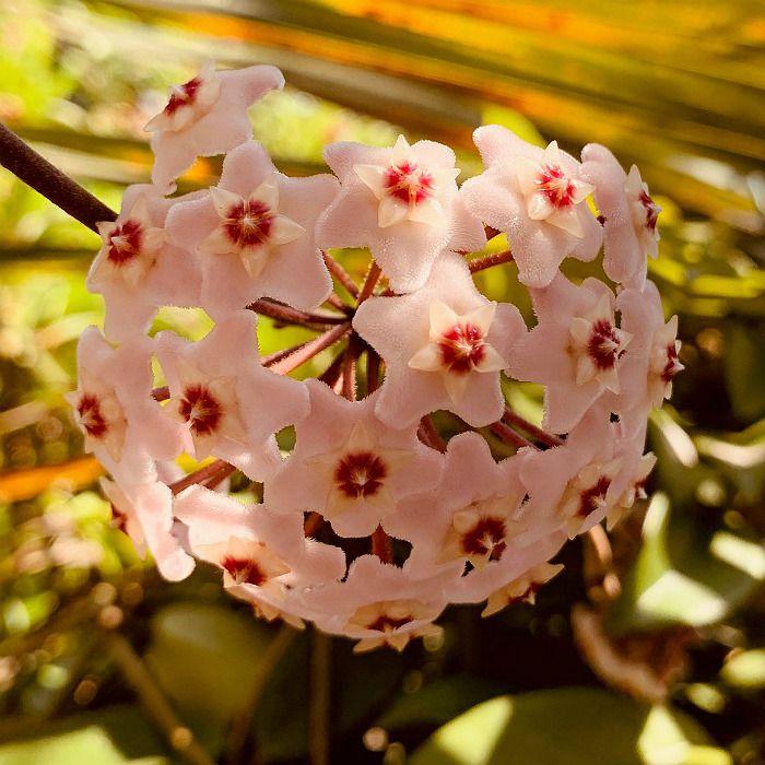 Hoya carnosa - flor de cera - muda grande