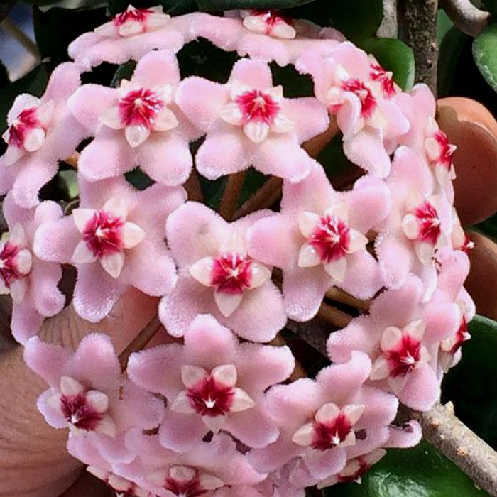 Hoya carnosa krinkle 8 - flor de cera