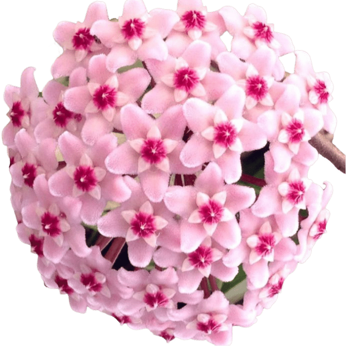Hoya carnosa krinkle 8 - muda flor de cera