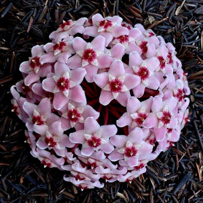 Hoya carnosa (krinson princess)