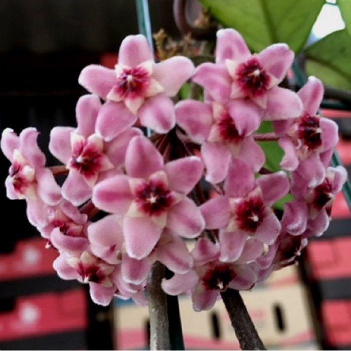 Hoya carnosa red - muda flor de cera