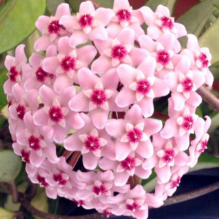 Hoya carnosa tricolor - flor de cera - muda grande