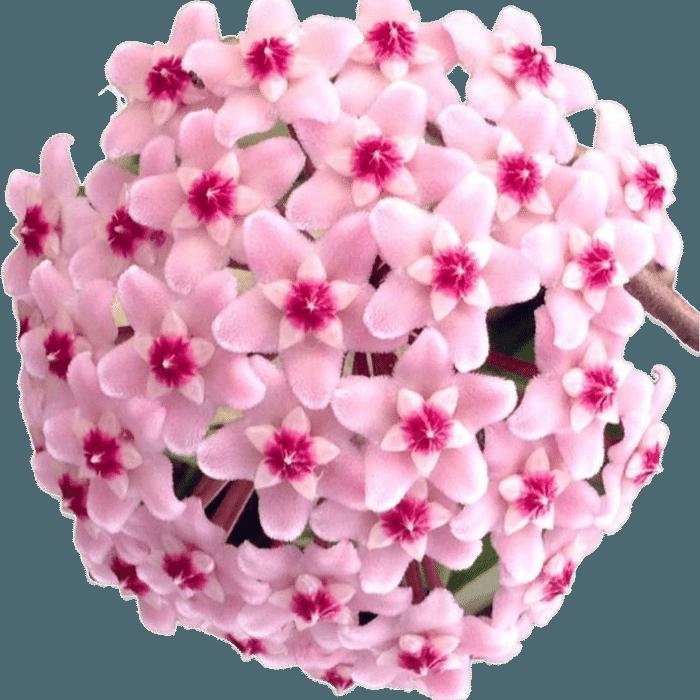 Hoya carnosa tricolor - muda flor de cera