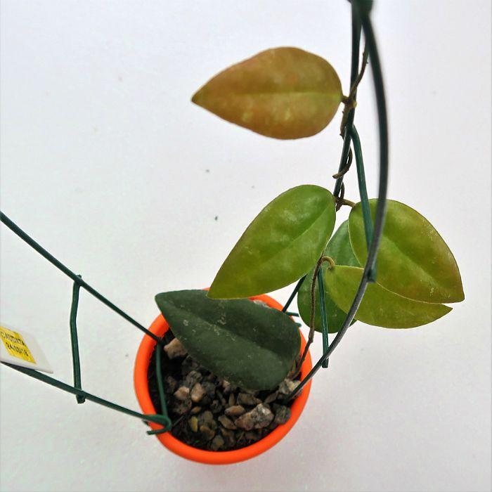 Hoya caudata - muda flor de cera