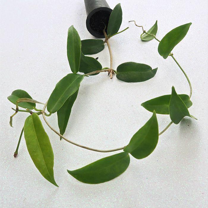 Hoya chlorantha - flor de cera
