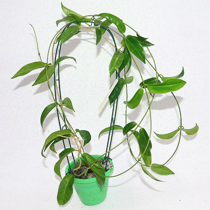 Hoya chlorantha - flor de cera - muda grande
